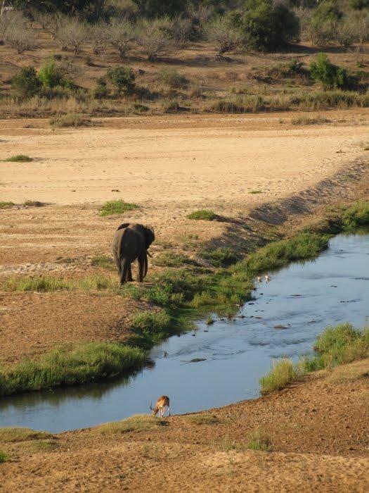 elephant%20impala