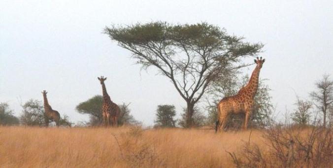 girafe%203