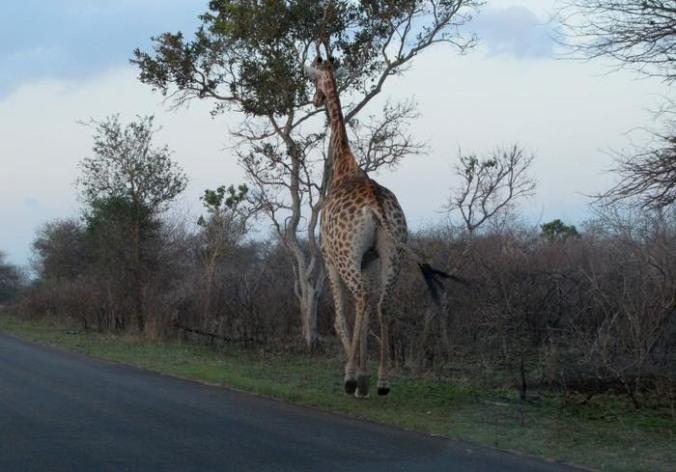 girafe%20court