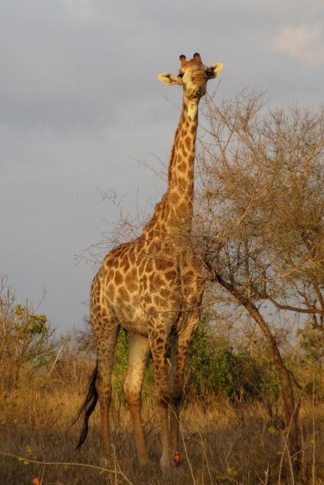 girafes%201