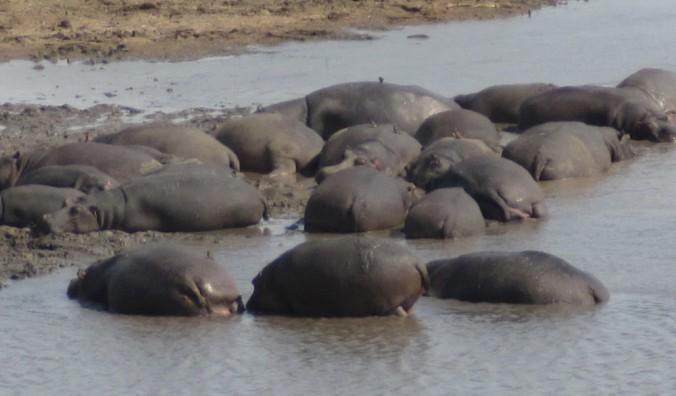 hippos%20img_0453
