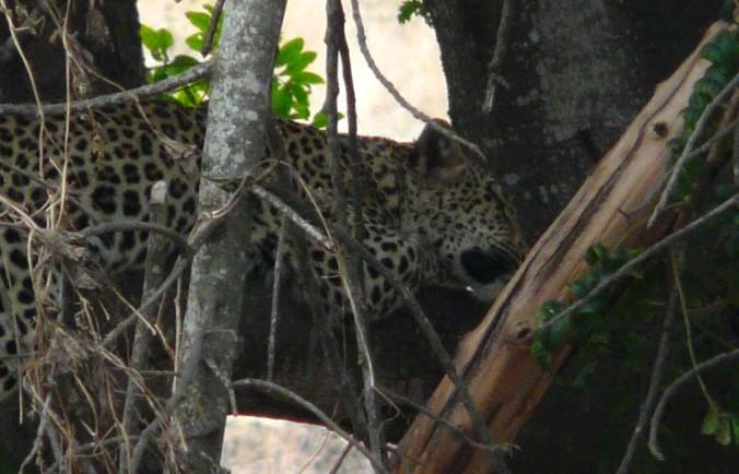 leopard%20p0125