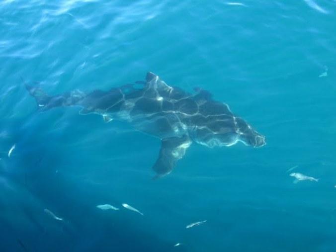 requin-1