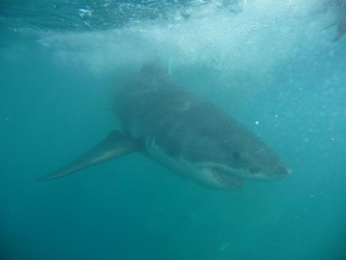 requin-2